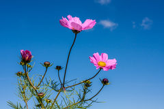 Bright Pink Cosmos Royalty Free Stock Image