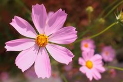 Bright pink cosmos flowers. Beautiful bright pink cosmos flowers in the sunlight Stock Image