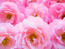 Bright pink curly roses Royalty Free Stock Image