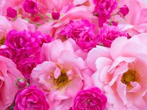 Bright pink curly roses and small vibrant pink roses Stock Photo