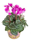 Bright pink cyclamen plant, flowers isolated over white. Royalty Free Stock Photos