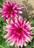 Bright pink Dahlia flowers. Two big, bright pink Dahlia flowers in bloom during early autumn Stock Images