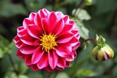 Bright pink Dahlia in a garden. Royalty Free Stock Photos