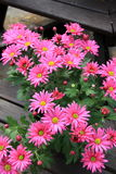 Bright pink daisies in clay pots on wood benches Stock Image