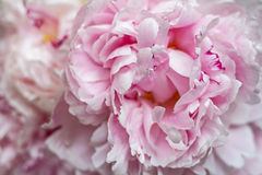 Bright pink delicate bouquet of fragrant peony flowers. Royalty Free Stock Photo