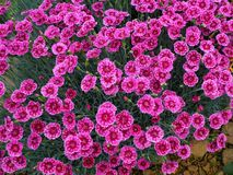 Bright pink Dianthus flowers pinks, variety Gold Speck stock photography