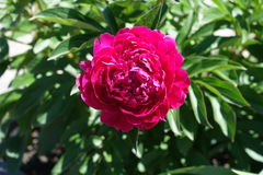 Bright pink double flower of Paeonia officinalis. Bright deep pink double flower of Paeonia officinalis Royalty Free Stock Photos