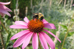 Bright Pink Echinacea and Bee Royalty Free Stock Photo