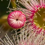Bright Pink Eucalyptus Flowers, Sunbury, Victoria, Australia, October 2017. Macro Image royalty free stock image