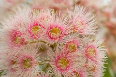 Bright Pink Eucalyptus Flowers, Sunbury, Victoria, Australia, October 2017. Macro Image stock photos