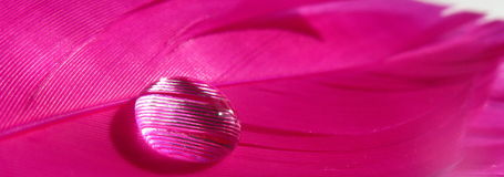 Pink feathers with a water drop Royalty Free Stock Image