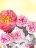 Bright pink festive english  roses on a pastel sunny background. Bright pink festive english festive roses on a pastel sunny background Stock Image