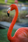 Bright pink flamingo on the green background Stock Images