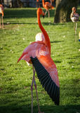 Bright pink flamingo on the green background Stock Photography