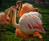 Bright pink flamingo on the green background Royalty Free Stock Images