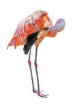 Bright pink flamingo isolated on white Royalty Free Stock Photo