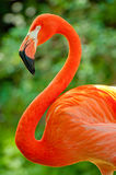 Bright pink flamingo strikes a pose. The flamingo is bright and stunning and it knows it Stock Photography