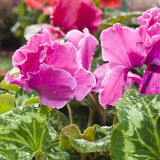 Bright pink flower. Full blooming bright pink flower Stock Photography