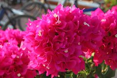Bright pink flower Bougainvillea spectabilis Willd. Royalty Free Stock Photos