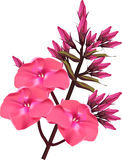 Bright pink flower branch isolated on white Stock Photo