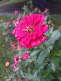 Bright pink flower closeup look in garden stock photos