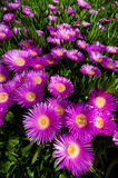 Bright Pink Flower on Creeping Succulent Plant royalty free stock photo