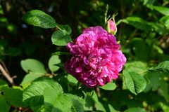 Bright pink flower of dog rose in summer garden.  stock image