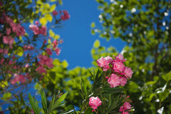 Bright pink flower oleander on the blue sky. Bright blossoming pink flower oleander on the  blue sky, closeup Royalty Free Stock Photography