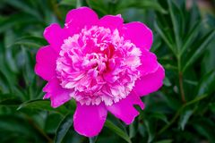 Bright pink flower of a pion in a garden close up_ royalty free stock image