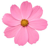 Bright pink flower Primula.  white isolated background with clipping path. Closeup Stock Photo