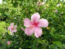 Bright pink flower of purple hibiscus on green leaves natura stock images