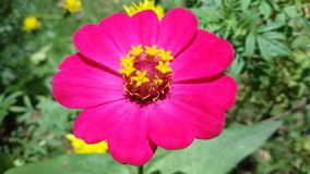 Bright pink flower. In sunshine day Stock Image