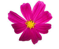 Bright pink flower with yellow center Royalty Free Stock Photos