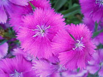 Bright Pink Flowering Sweet William Stock Image