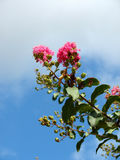 Bright pink flowering tree branch stands out against a blue sky Stock Image