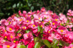Bright pink flowers. Royalty Free Stock Photo