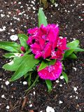 Bright pink flowers. With white accents and bright green leaves freshly planted in my garden last summer stock photo