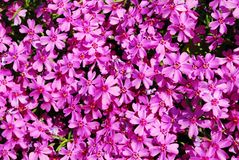 Bright pink flowers Royalty Free Stock Photography