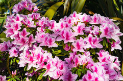 Bright pink flowers of Alstroemeria or Peruvian lily royalty free stock photography