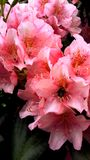 Bright pink flowers with a bee royalty free stock image