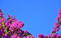Bright pink bougainvillea, clear sky. Bright pink flowers of bougainvillea against clear blue sky. Natural background Royalty Free Stock Photography
