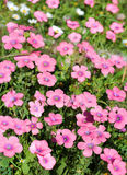 Bright pink flowers of the field Stock Image