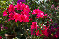 Bright pink flowers. Flowering of azalea in the spring garden. Bright pink flowers stock photo
