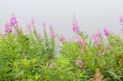 Bright pink flowers in the fog stock photo