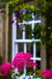 A Beautiful British Country Garden With Magenta Flowers in Front of a Traditional Framed Window stock photo