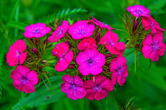 Bright pink flowers on green leaves, petals are decorated with white dots. In the Park royalty free stock photos