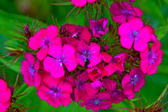 Bright pink flowers on green leaves, petals are decorated with white dots. In the Park stock photos