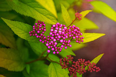 Bright pink flowers on green leaves, petals are decorated with white dots. In the Park stock images