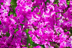 Bright pink flowers of a primrose Royalty Free Stock Photography