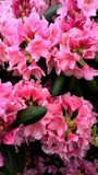 Bright pink flowers after rain royalty free stock photography